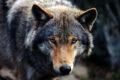 Lupo avvistato nella zona dell'Oltrerai: «Nessun rischio per l'uomo»