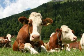 Il latte è un problema: quotazioni sempre più giù e produttori bellunesi in ginocchio