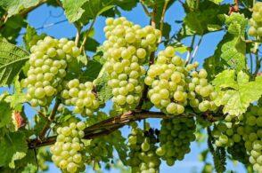 La leggenda dell'uva: dalle lacrime della vite ai grappoli con i chicchi