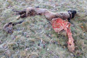 Il lupo si rifà vivo: sbranate due pecore a Canevoi, vicino alle case