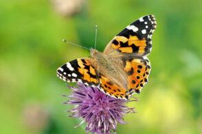 Cacciatori di farfalle cercasi: il Parco organizza un corso di formazione apposito