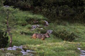 Il lupo protagonista 12 mesi: è arrivato il calendario del Parco Dolomiti
