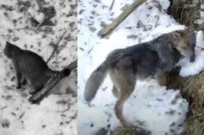 Fototrappolati un gatto selvatico e un lupo: luogo d'incontro un sentiero del Visentin