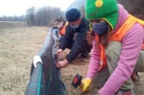 Barriere salva-rospi: volontari in azione a tutela degli anfibi