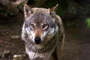 «Troppi ungulati e lupi». Confagricoltura condanna le politiche «buoniste»