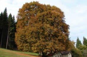 """Gli alberi monumentali del Bellunese: li racconta il """"cercatore di giganti verdi"""""""