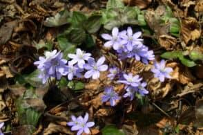 Bianco o viola: il fiore del vento che annuncia la primavera