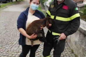 Pedavena, agnellino cade nel torrente: salvato dai pompieri