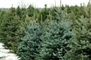 Erano destinati alla discarica: alberi di Natale rivivranno nell'Agordino