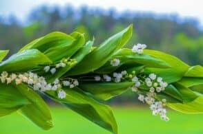 La leggenda del mughetto: il fiore di maggio simbolo di felicità